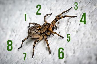 numer de patas araña