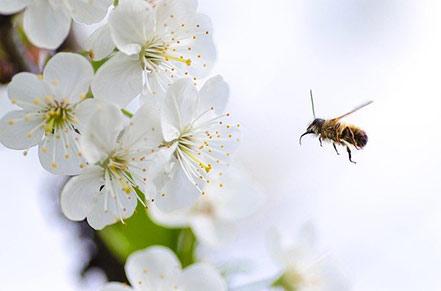 alimentación abeja