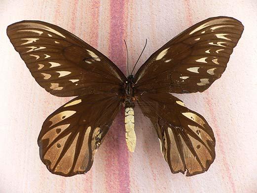 Ornithoptera Alexandrae