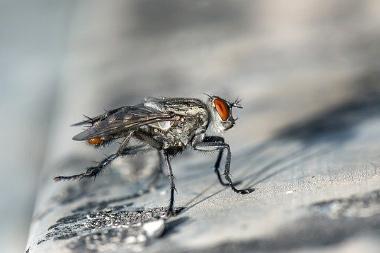 patitas moscas