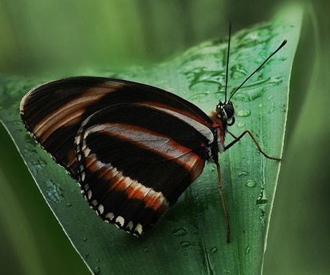 mariposa ninfálidos