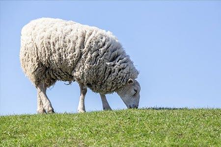 oveja comiendo en el campo