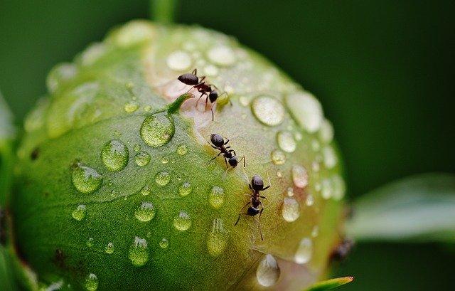 patas hormigas