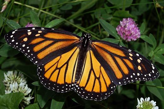 la migración en mariposas