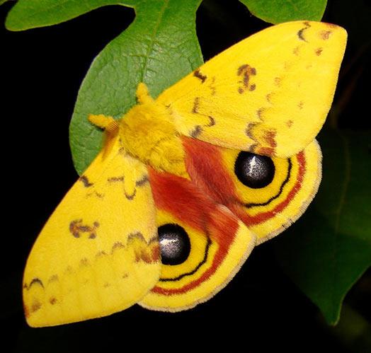 diferencias polilla mariposa