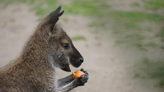 canguro alimentación